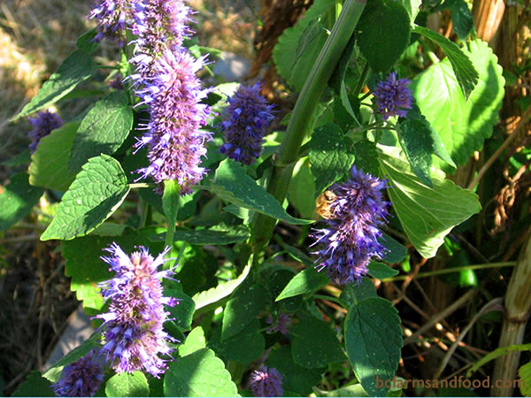 Hyssop is one of the best plants for attracting pollinators like butterflies, bees and hover flies. Strong-scented hyssop repels white cabbage butterflies by masking the smell of brassicas nearby with its aroma. Related members of the Labiatae family, including mint, lemon balm, cat nip, pennyroyal are excellent attractors of tachinid flies, hover flies and parasitic wasps.