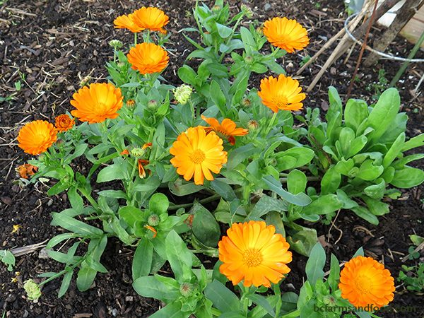 Calendula (Pot Marigold) reliably blooms into November in coastal areas. Cut back spent flowers for continued blooms. In mild years with no hard frost, calendula blooms all winter and provides cheerful early spring flowers for bees.