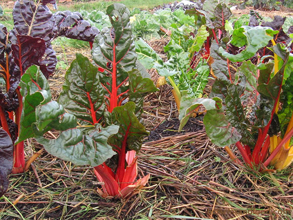 Mulch, such as straw or dried grass clippings, can warm the soil during cold seasons and help retain soil moisture during hotter months. When mulching around plants, take care to leave air space around the stems.