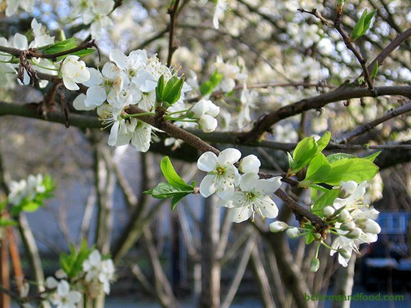 Early blooming fruit trees such as cherry and apple trees flower in February. With each tree bearing hundreds of flowers, they provide a large concentrated food source for pollinators.