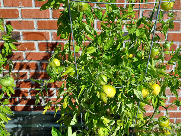 Plants situated against a sunny south-facing wall or fence often bear fruit larger and longer than in less protected areas. With extra warmth and wind protection, these locations are especially good for heat-loving plants like tomatoes and peppers.