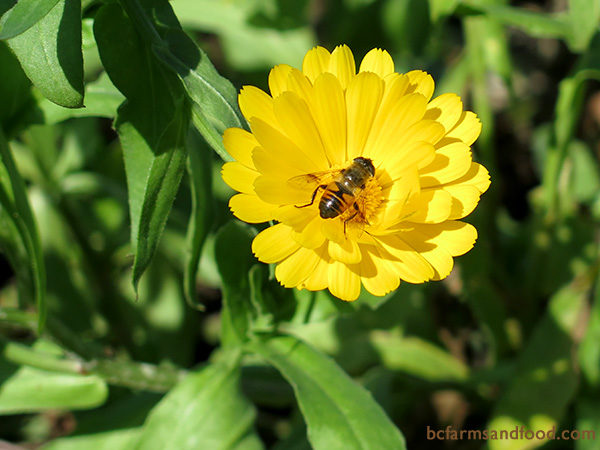 Yellow and white flowers, like calendula (above) are good attractors of flower flies (also known as hover flies or syrphid flies). Flower flies are valuable pollinators. Although they often look similar to wasps or bees (a mimicry they've developed to ward off predators), they do not sting.