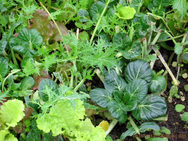 Winter Salad Greens include arugula, bok choi, chicories, lettuce, mache, mustards and spinach. They grow slowly due to low light. Mulch well, and harvest as baby greens or braising mix.