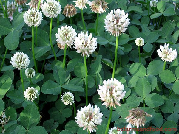 Clover typically indicates moist, poor-fertility soil, that is low in nitrogen. It also indicates soil that is rich in potassium. Clover draws nitrogen from the air and fixes it into the soil when tilled under.
