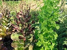 lettuce plant. Growing Your Own Garden Seeds.