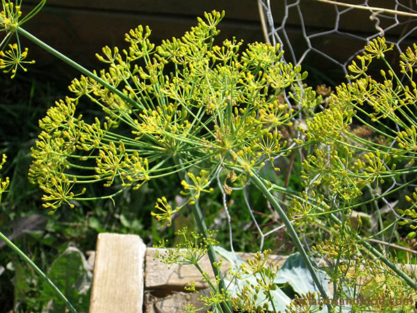 Dill and members of the Apiaceae family such as fennel, parsley, coriander, lovage, angelica and flowering carrots are powerful attractors of beneficial lady bugs, parasitic wasps, hover flies, tachinid flies, lacewings—all useful for controlling garden pests.