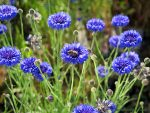 Bright blue cornflowers or Bachelor's Buttons help bees through the winter.