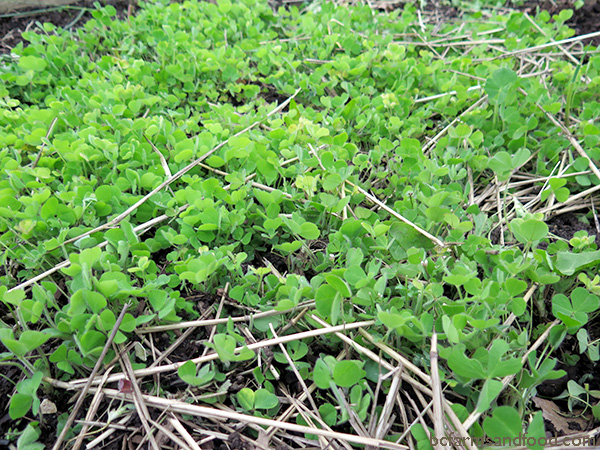 A cover crop of clover grows amid straw mulch. Grow a Climate Change Garden