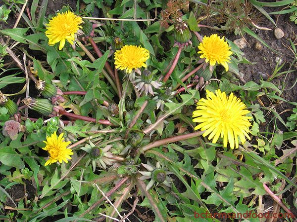 Dandelion typically indicates heavy, compacted, acidic soil, but also grows in fertile well-drained areas. Dandelion's long taproots bring up calcium and other minerals from the subsoil. These can enrich the garden as dandelion decomposes.