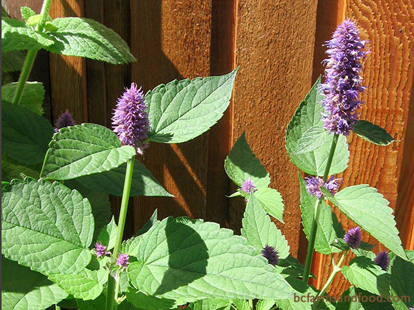 Mint family plants (Lamiaceae) are reliable deer deterrents. These include bee balm, catnip, anise hyssop (above), lavender, lemon balm, peppermint, spearmint, marjoram, oregano, rosemary, salvia, thyme, and savoury.