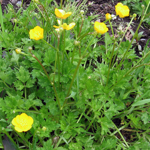 What Weeds Can Tell You About Your Garden Bc Farms Food