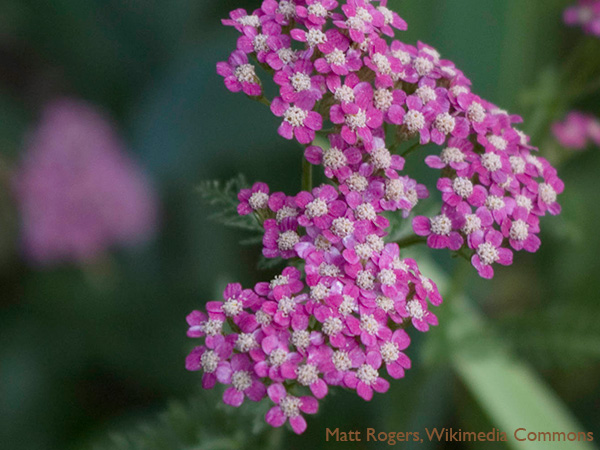 Yarrow is a good perennial for natural pest protection. The tiny yarrow flowers attract bees, aphid-eating lady bugs, hover flies and parasitic wasps.
