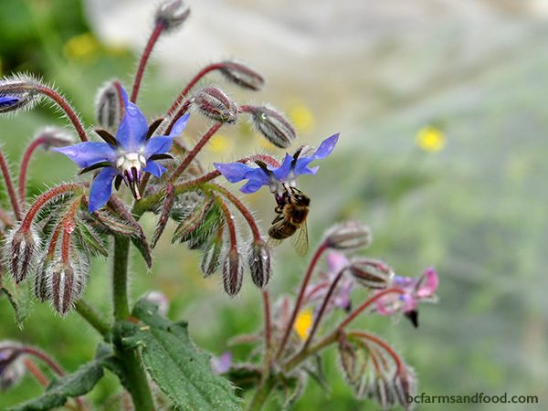 Borage is a hardy annual herb that flowers in June or July and continues into November. Borage does not survive a hard frost. Bees and other pollinators are attracted by the bright blue star-shaped flowers.