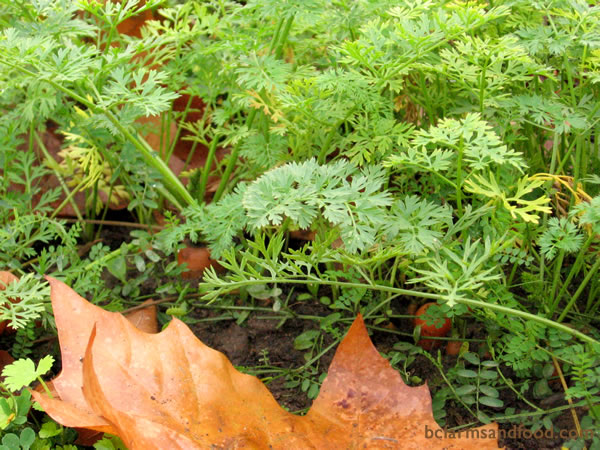 Certain carrot varieties, such as Danvers, store well in the ground. Sow in July, size them up by October, and pull them fresh in the winter.