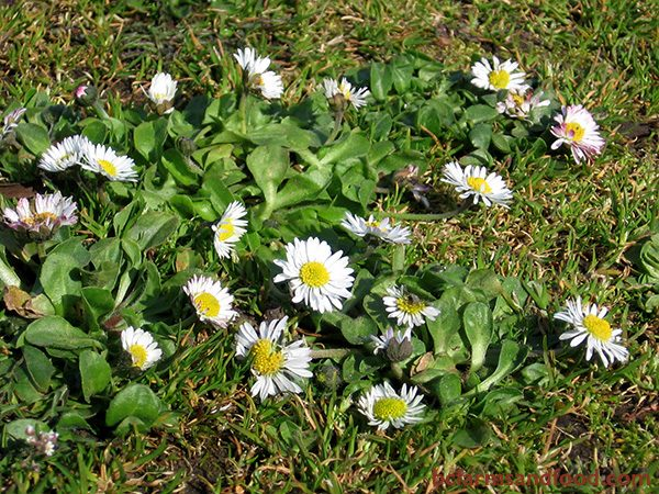 Daisy (Bellis perennis) indicates dry, well-drained soil with low fertility. This low-growing plant with lobed leaves and small flowers is commonly found in lawns with worn-out neutral or acidic soils.