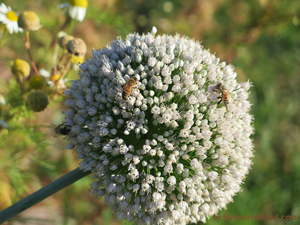 While deer may nibble on new spring onion shoots or chives, flowers from leeks, onions and native alliums such as Nodding onion are generally deer-resistant. Leeks (above) and other allium flowers are beautiful, powerful attractors of bees.