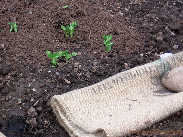 Burlap coffee sacks, (available free from coffee roasters) make good mulch material or pathway liners. In addition to warming the soil, they also help to suppress weeds.