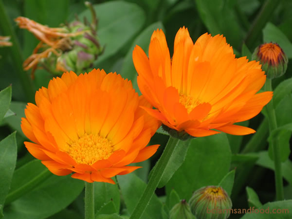 Calendula (pot marigold) and other marigolds draw pollinating bees and butterflies to the garden. They also attract protective hover flies, lady bugs, and parasitic wasps. The older varieties of marigolds have stronger aromas. Calendula and French marigolds can repel nematodes.