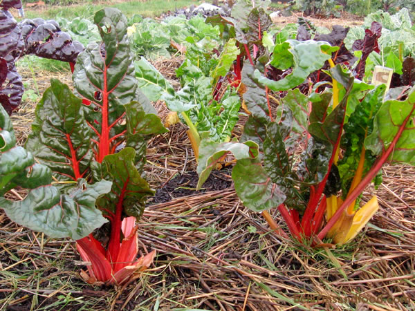 Chard is frost-hardy and will make it through most winters. Sow from April to June for fall and winter harvest.