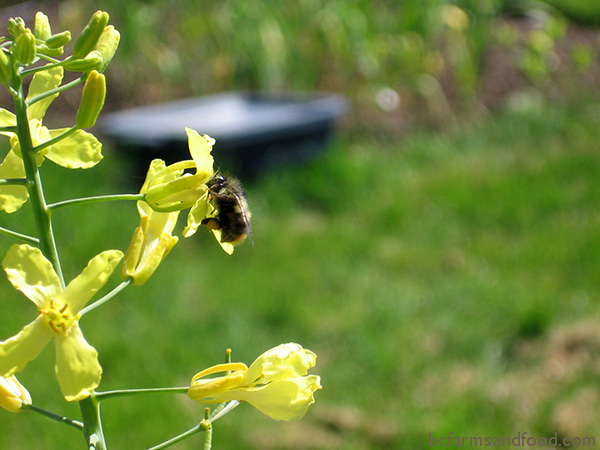 A bee on an early spring kale flower. Avoid pesticides to protect bees.