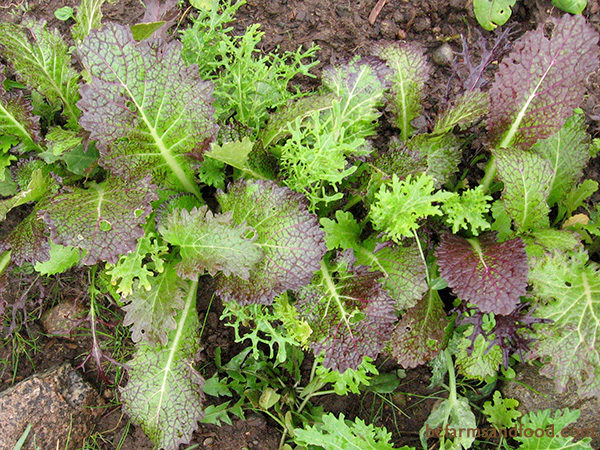 Salad greens you can grow in winter bc farms food - Salads can grow pots eat fresh ...