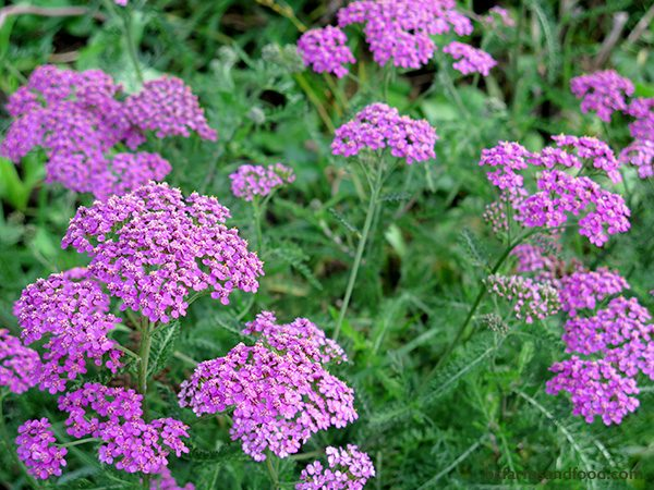 Yarrow's tiny close-packed flower clusters provide nectar for pollinators. Yarrow blooms from spring to November. Cut back the flowers after their first bloom for continued flowering. In mild years with no hard frost, yarrow will bloom in winter.