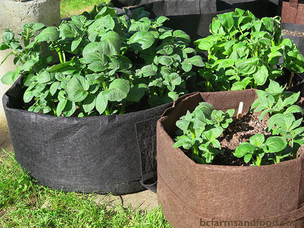 Growing staples. Potato plants in a container garden. Tips for a sustainable year-round garden.