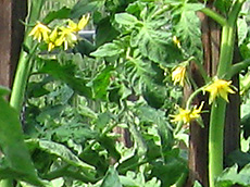 Yellow tomato flowers. Growing Your Own Garden Seeds.