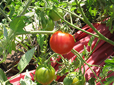 Red and green cherry tomatoes on a tomato plant. Growing Your Own Garden Seeds.