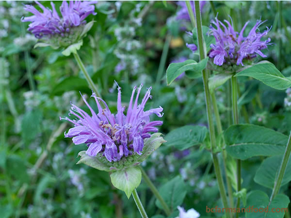 Bee balm, bergamot, and other members of the <em>Monarda</em> genus attract pollinating insects such as bees, butterflies and hover flies, as well as hummingbirds.
