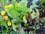 Flowers, beets and chard grow side by side in this diverse cool-weather garden. Grow a Climate Change Resilient Garden