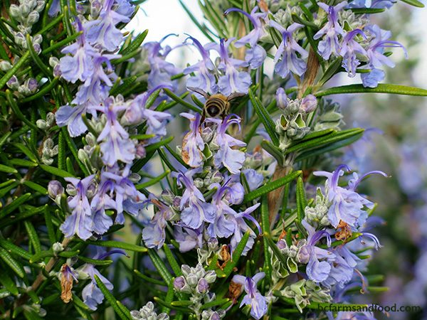 Rosemary has small blue flowers that attract bees. Rosemary blooms at different times of the year, often in March, April or November. Prune this shrub after flowering, but not back to the bare wood. Flowers appear only on new wood.