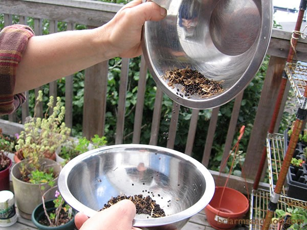 To winnow out the chaff, seeds are dropped from one bowl to the next.