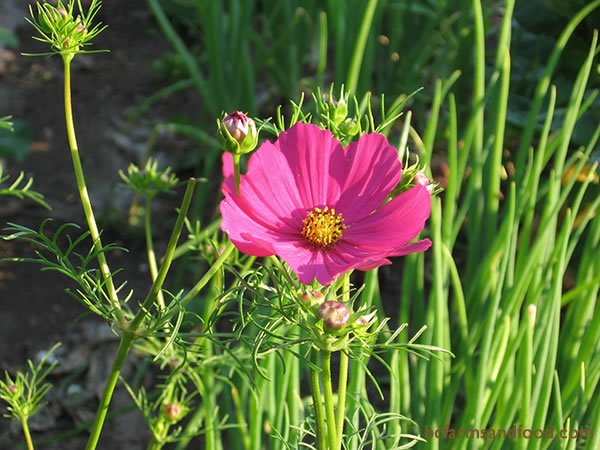 White, pink or crimson Cosmos are advantageous flowers for the garden. Cosmos attracts pollinating insects as well as hover flies, parasitic wasps, lacewings and lady bugs.