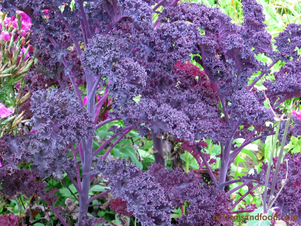 Kale is one vegetable you can count on throughout the winter. It is easy to grow and hardy, even in freezing temperatures. The leaves become sweeter after a frost.