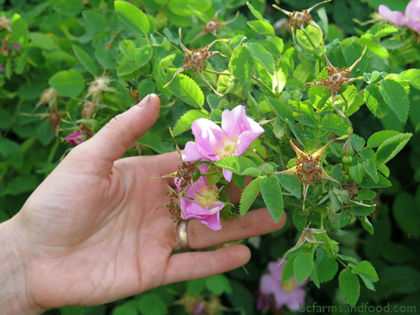 A hand reaches out to a pink Nooktka rose, just one of the native plants that brings benefits to the garden. Grow a Climate Change Resilient Garden