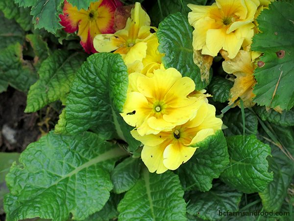 Primrose, a hardy perennial likes a cool, well-drained growing area. Long regarded as a herald of spring. In south coast BC, primrose blooms from midwinter to spring, with a reprise in October or November.