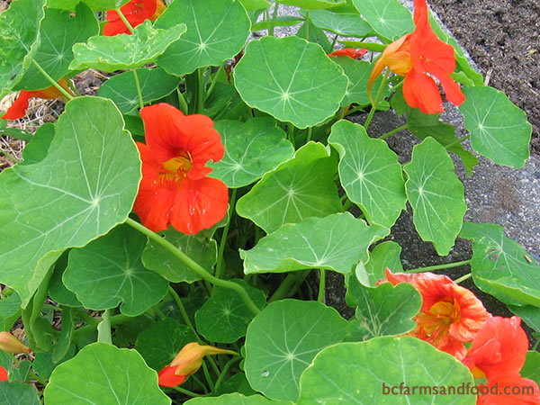 Nasturtium, with its showy orange and yellow flowers, is an old garden standby known for its protective qualities. This bright flower attracts pollinators as well as pest-fighters.