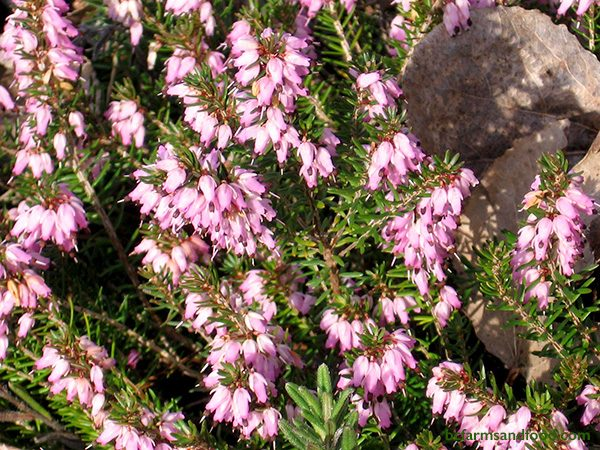 Heather brings colour in winter with tiny flowers that attract honey bees and bumblebees. This hardy perennial typically buds in November, however an established heather plant can bloom from September to May.