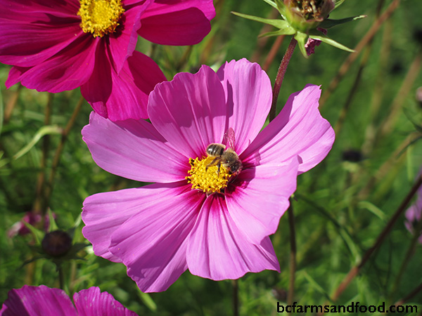 A bee on a cosmos blossom. Attracting pollinators. Tips for a sustainable year-round garden.