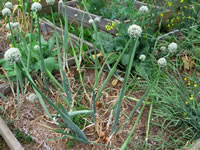 bunching onions in flower