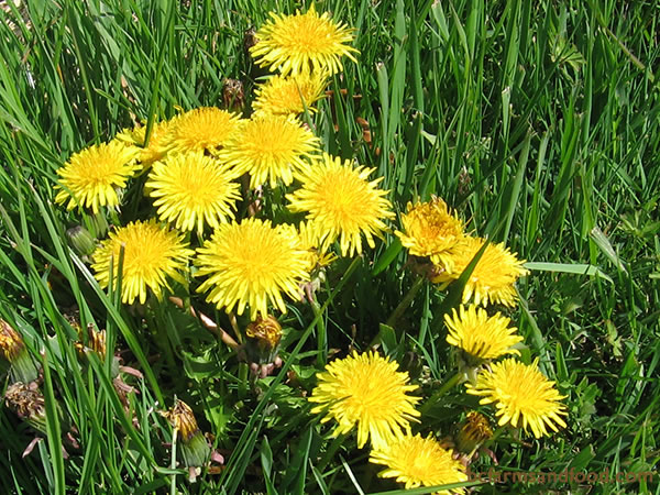 Before you pull your weeds, consider— dandelions and other flowering weeds draw beneficial insects to the garden early in the spring before other flowers have a chance to bloom. Dandelions also provide early pollen to bees.