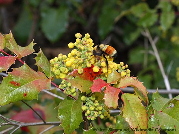 Oregon Grape <i>(Mahonia aquifolium),</i> a tall evergreen native shrub with prickly, holly-like leaves, is a good early attractor for bees and other pollinators. Sprays of small yellow flowers bloom anytime from November through March.