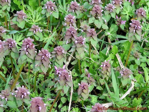 Purple Deadnettle, a member of the mint family, often indicates neutral, nutrient-rich soil. Deadnettle can grow in heavy clay areas, but prefers loamy soil. Purple Deadnettle is a valuable attractor of pollinators in early spring.