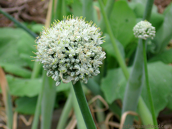 The flowering seed head of a leek. Saving seeds helps adapt the garden to climate change.