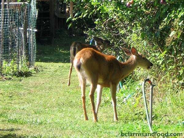 Deer at a garden. Deter deer. Tips for a sustainable year-round garden.