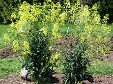 Flowering Lacinato kale plants with bright yellow blossoms. Growing Your Own Garden Seeds.