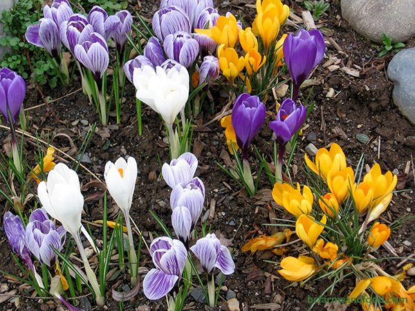 Crocus, Snowdrop and Hyacinth bulbs provide early nectar and pollen for honey bees. The flowers often open in late January and February, providing some of the earliest blooms of the season.