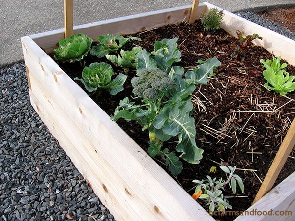 Raised garden beds, whether built in neat cedar boxes or by simply mounding up soil, will capture the warmth of the sun and give plants an advantage. The cool air sinks down to the surrounding pathways. Adding stones or gravel to the surrounds is another way to capture heat.