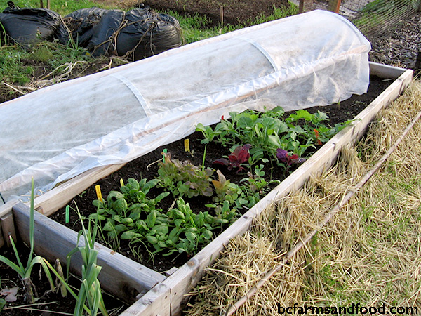 Protecting winter garden plants with a cold frame. Tips for a sustainable year-round garden.